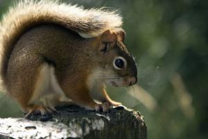 Eichhörnchen, pelz, niedlich, tier, säugetier