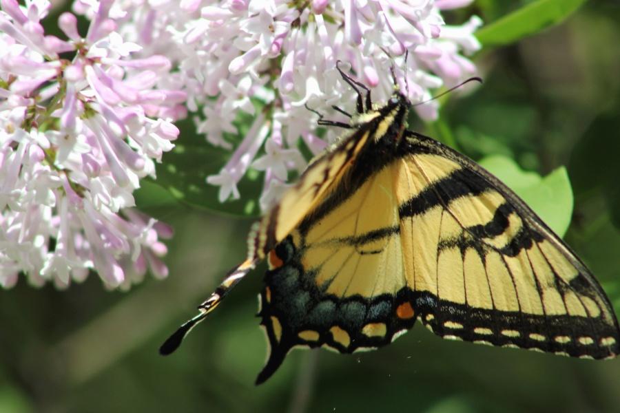 Kostenlose Bild: Schmetterling, blume, blüte, natur, bunt
