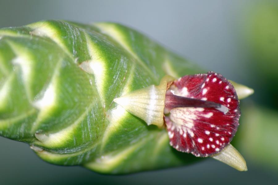 image libre fleur gingembre nature bourgeon plante racine. Black Bedroom Furniture Sets. Home Design Ideas