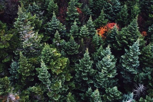 trees, wood, color, conifers, environment, evergreen, fir, trees, green