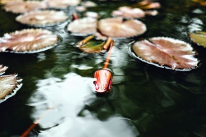 water lily, pond, reflection, water, aquatic plant, lotus, leaves