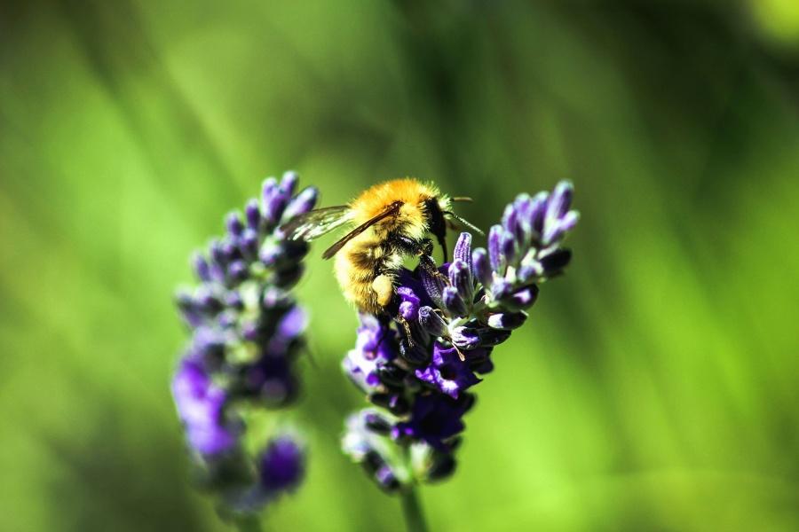 mùa hè, con ong, hoang dã, bay, khu vườn, mật ong, ong mật, côn trùng, hoa oải hương