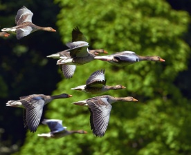 migration, flock, ducks, birds, nature, wild, animals, flight, wing