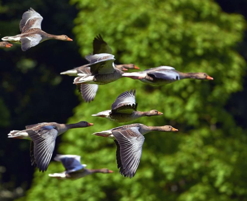 di chuyển, đàn, vịt, chim, thiên nhiên, hoang dã, động vật, chuyến bay, cánh