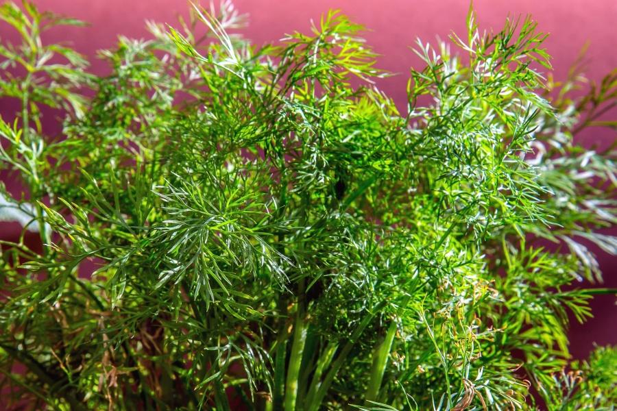 Image libre pice nourriture feuilles plante tige for Plante 9 feuilles