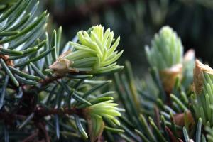 Pin, arbre à feuilles persistantes, branche, conifère, forêt