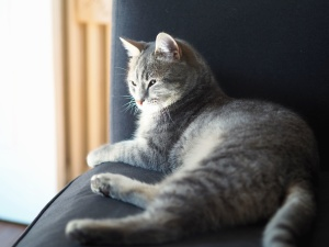 animal, pet, cat, fur, armchair, kitten