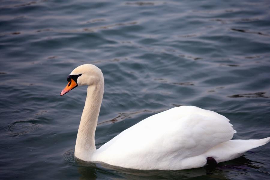 Swan, fågel, fjädrar, vatten sjö