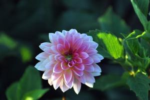 płatki, liście, kwiat, charakter, ogród