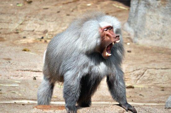 monkey, primate, animal, fur