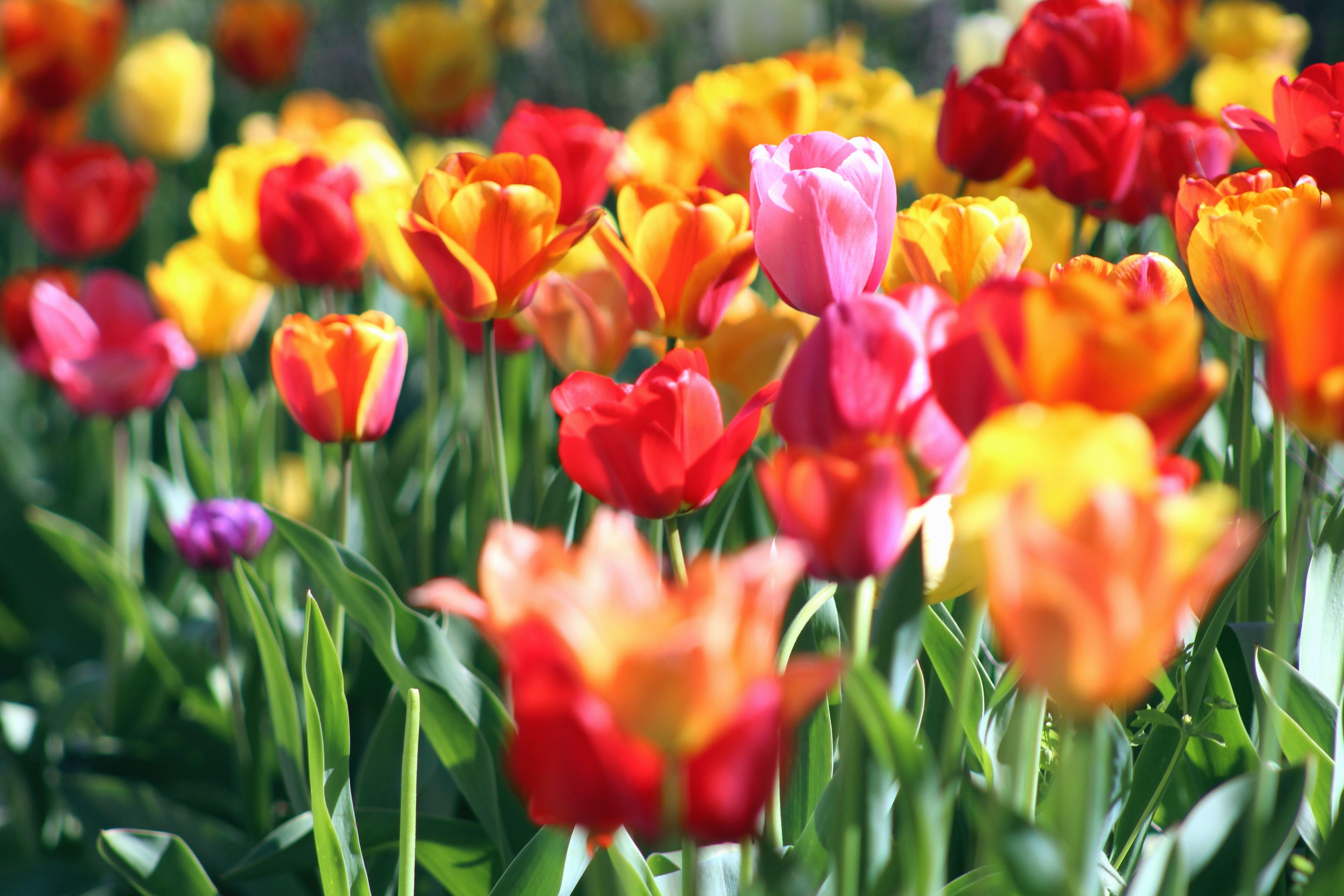 Kostenlose Bild: Feld, Frühling, Tulpen, Bunt, Garten