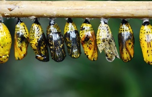 metamorphose, butterfly, insect, larva
