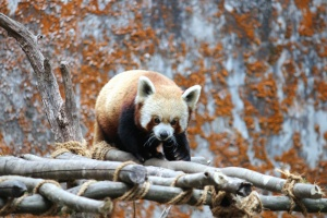 Panda, arbre, faune, bois, zoo, animal