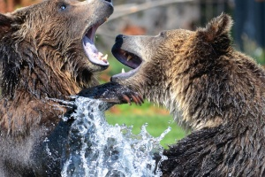 bears, water, wild, animals