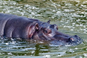 water, hippopotamus, animal, eyes, head, swim