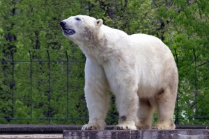 bear, polar bear, animals, fur, trees, fence