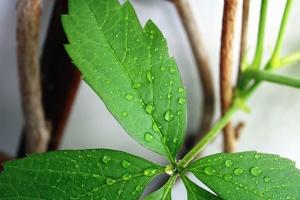 leaf, plant, dew, water, wood, twigs