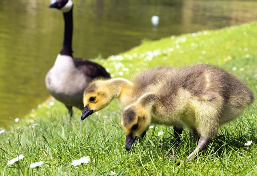 гъска, езерото, патици, трева, животни, природа