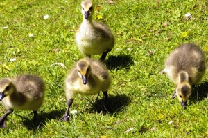 grass, animals, feathers, nature, ducklings