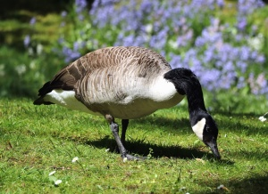 goose, feather, animals, grass, stem, flowers, nature