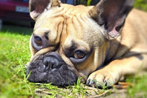 dog, eyes, muzzle, head, animal, bulldog