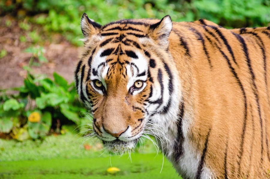 tigar, zvijeri, mačka, opasno, grabežljivac, krzna, glave, očiju