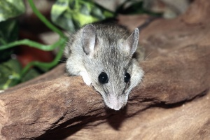 mouse, mammal, gray, head, eyes, animal, tree, rodent