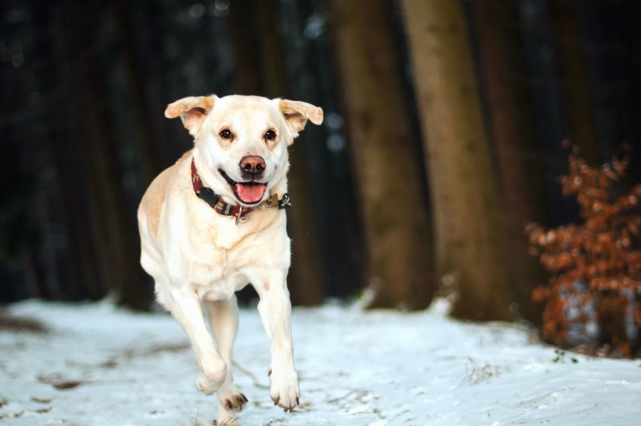 dog, snow, wood, forest, winter, animal