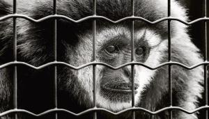 majmun, sisavaca, životinja, kavez, metalni