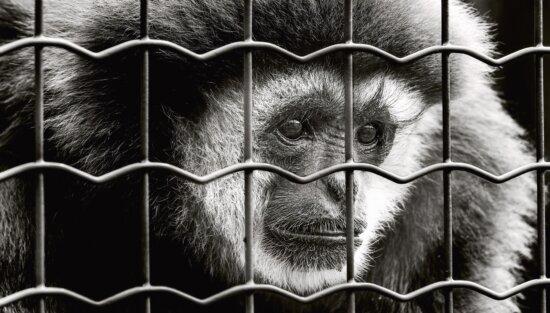 monkey, mammal, animal, cage, metal