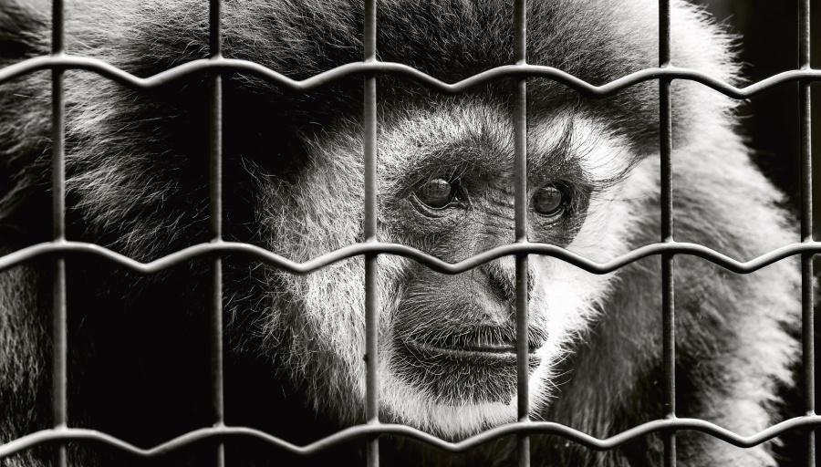 opice, savec, zvíře, klec, kovové