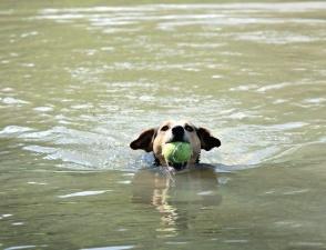 dog, water, river, swim, pet