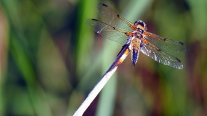 dragonfly, insect, wings, wetland, reed