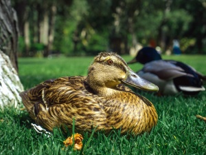 duck, grass, nature, feathers, beak