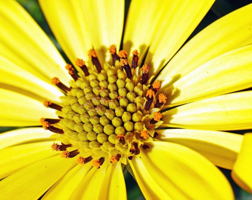 blomst, pollen, kronblad, natur, hage, pistil