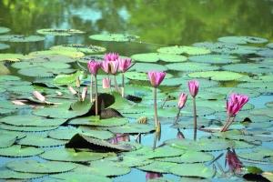 vannlilje, blader, blomster, blomstrer, lotus, plante