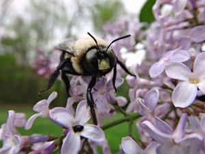 Bee, honung, insekt, blomma, blommor, kronblad, pollen