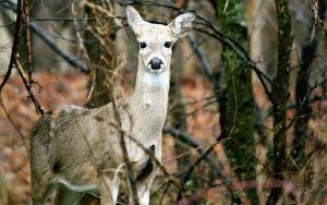 doe, deer, animals, forest, mammal, tree