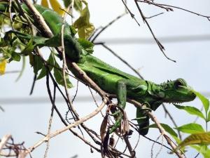 Iguana, lagarto, madera, camuflaje, animal, naturaleza