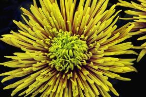 blomst, pistil, gul, kronblad, våren, natur, plante
