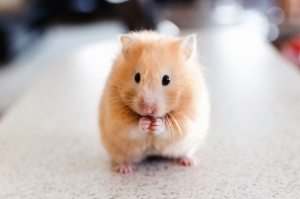 Hamster, animal de compagnie, animal, fourrure
