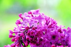 trädgård, blomma, blomning, kronblad, natur