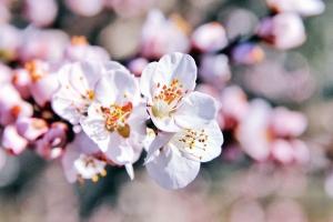 Flor, pétalo, cereza, primavera, planta, árbol