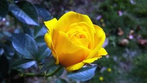 노란 장미, 꽃잎, 장미, 꽃, 식물, 정원