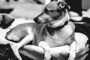 Perro, mascota, piel, casa, collar, blanco y negro