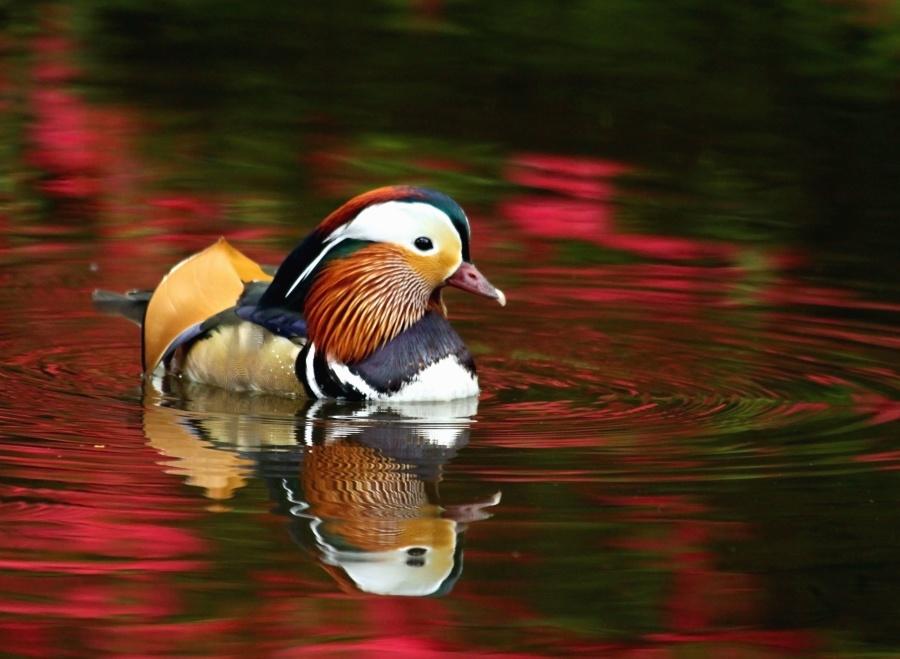 bird, colorful, water, feather, beak, lake