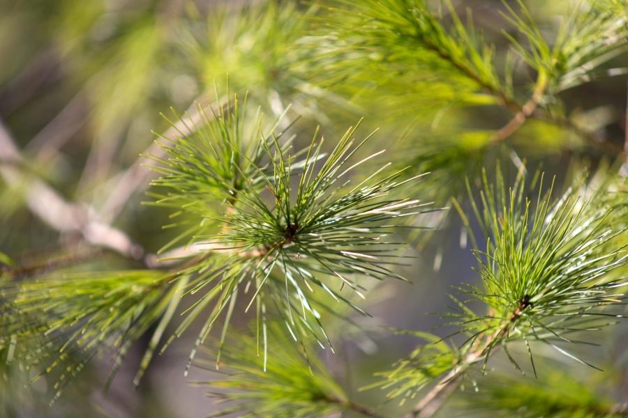 conífera, ramo, flora, verde, árvores