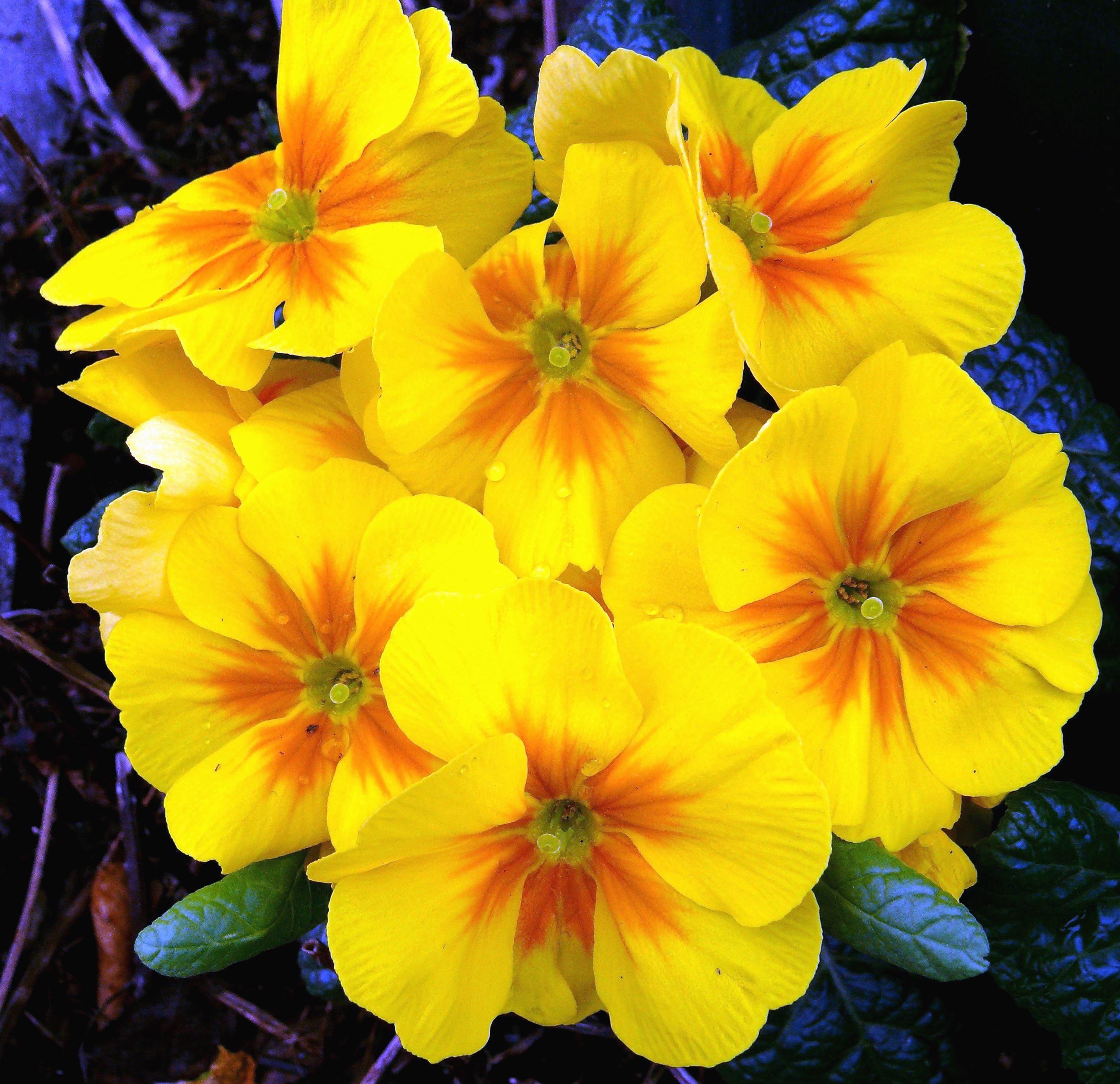Fiori Gialli In Primavera.Foto Gratis Fiore Giallo Fioritura Petali Primavera