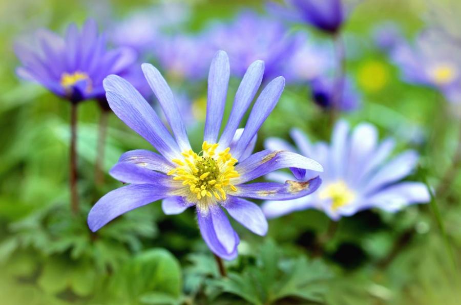 flower, garden, nature, petals, spring