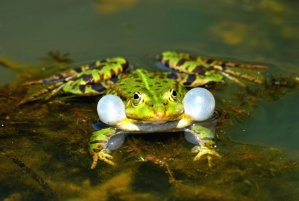 frog, lake, water, amphibian, animal